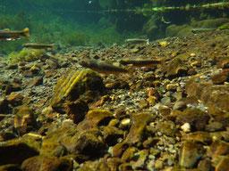 水底にはオショロコマが泳いでいます