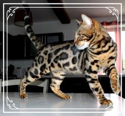 Vente de chats de race Bengal - Elevage Tribal Bengal - Mâles