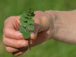 Kleine Bibernelle (Pimpinella saxifraga)