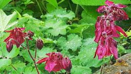 Blüten und Blätter einer dunkelroten Akelei aus dem bunten Wiesenblumen-Potpourri von K.D. Michaelis