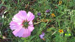 Nahaufnahme einer hellrosa Cosmea-/Schmuckkörbchen-Blüte im Gegenlicht der Herbstsonne von K.D. Michaelis