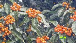 Orange Beeren der Eberesche/Vogelbeere/Vogelbeerbaums von K.D. Michaelis