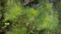 Filigrane Stängel und Blätter der Cosmea / des Schmuckkörbchens, die auch ohne Blüten wie ein Kunstwerk der Natur aussehen von K.D. Michaelis