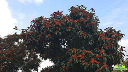 Ein voller oranger und roter Beeren leuchtender Vogelbeerbaum / Eberesche / Vogelbeere vor einem weiß-blauen Himmel von K.D. Michaelis