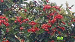 Rote Beeren der Eberesche/Vogelbeere/Vogelbeerbaums von K.D. Michaelis
