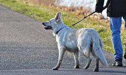 un chien berger blanc suisse en laisse sur une route tenu par son maître par coach canin 16 éducateur canin en charente