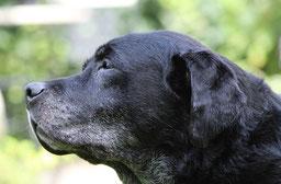 un vieux chien labrador noir avec les babines blanchies par l'âge par coach canin 16 éducateur canin à domicile en charente