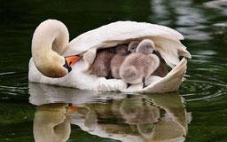 子供を包み込む白鳥の母鳥