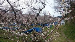 南高【塔のハダ】 2016開花状況