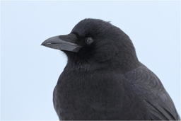 Sperlingsvögel: Rabenvögel