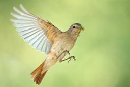 Sperlingsvögel: Fliegenschnäpper