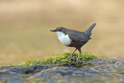 Sperlingsvögel: Wasseramseln und Zaunkönige