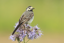 Sperlingsvögel: Stelzen und Pieper
