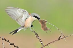 Sperlingsvögel: Würger