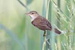 Sperlingsvögel: Rohrsänger