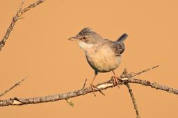 Sperlingsvögel: Grasmückenartige