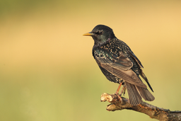 Sperlingsvögel: Stare und Pirole