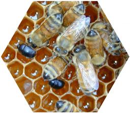 Kleiner Bienenstockkäfer