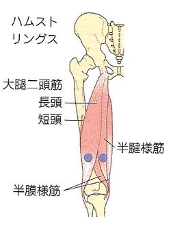 内側ハムストリングス(半腱様筋・半膜様筋)