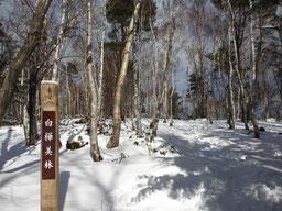 旭山の白樺美林