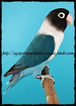 aviario miguel granada, personatus  Blue pied Violet Df y Sf, personata arlequín azul violeta Sf y Df