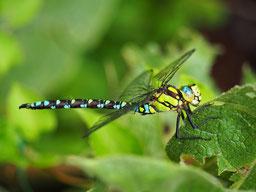 Blaugrüne Mosaikjungfer © NABU/Heidrun Heinze