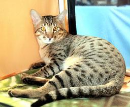 #кот саванна F5 alt