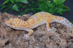 0.1 White & Yellow Tremper Albino het. Eclipse (Stella)