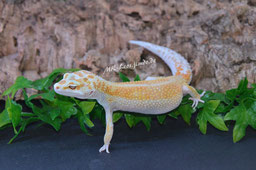 0.1 White & Yellow Tremper Albino (Klara)
