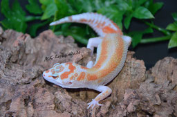 0.1 White & Yellow Tremper Albino het. Eclipse (noch keinen Namen)