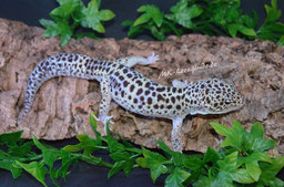 1.0 GEM Snow Eclipse het. Tremper Albino (Rocky)