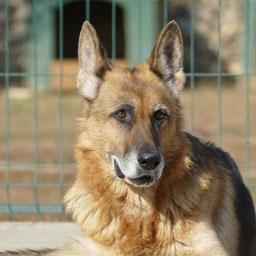 Linda, Schäferhund von Casa Cainelui. Bildmaterial vom Verein.