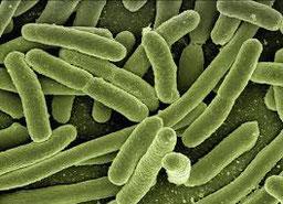bactérie sensible au champ magnétique