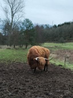 orientation Nord-Sud pour les vaches