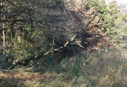 谷戸内に倒れかかった大木