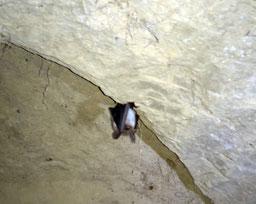 Abbildung: Einsamer Höhlenbewohner - eine winzige Fledermaus (Klaus Schindl)