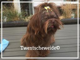 Shih Tzu hondje choco kleurig