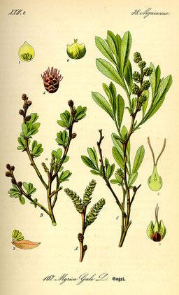 """MYRICA GALE - Illustration aus """"Köhler's Atlas der Medizinalpflanzen"""" 1887 - BILD: Verwendung gemeinfrei."""