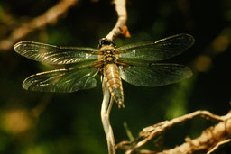 Libelle (R. Ufer)