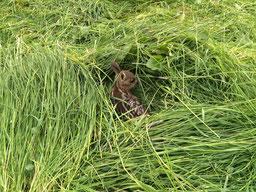 Rehkitz im hohen Gras einer Wiese