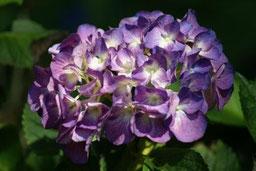 沢入駅には約2,200株のアジサイが咲く