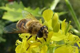 Scheinbienen-Keilfleckschwebfliege (Eristalis tenax). Foto: Petra Radtke