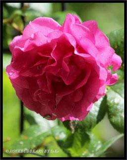 die erste Rosenblüte 2016