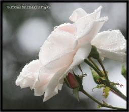 Regen Rose