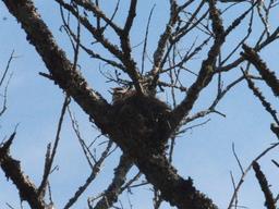 Wacholderdrossel mit fast flüggen Jungvögeln
