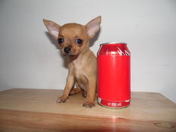 Le chihuahua miniature