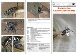 """Infobroschüre des BFW """"Asiatischer Laubholzbockkäfer"""" S.1, S.5 und S.6"""