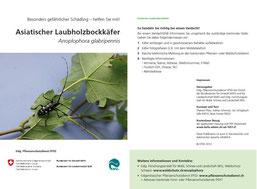 """Infobroschüre des BAFU / EPSD """"Asiatischer Laubholzbockkäfer"""" S.1 und S.4"""