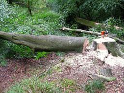 Klassiche Baumfällung vom Boden