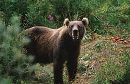 Kodiak-Bär, Quelle: https://commons.wikimedia.org/wiki/File:Kodiak_Brown_Bear.jpg